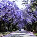 Jacarandas In Pretoria by Lene Pieters