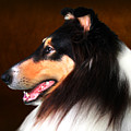 Black Jack- Collie by Sandra Moore