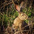 Jack Rabbit by Jean Noren