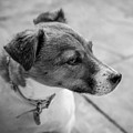 Jack Russell by Nick Bywater