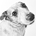 Jack Russell Terrier Drawing by Kate Sumners
