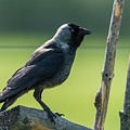 Jackdaw On The Fence by Torbjorn Swenelius