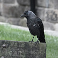 Jackdaw - Stare by Philip Openshaw
