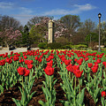 Jackson Park Spring Tulips 2 by Rachel Cohen