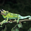 Jacksons Chameleon On Branch by Dave Fleetham - Printscapes