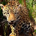 Jaguar Adolescent by Ellen Henneke
