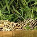 Jaguar Approaches Cayman by Steven Upton