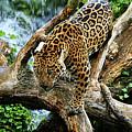 Jaguar Descending by Spade Photo