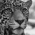 Jaguar In Black And White by Sandy Keeton