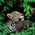 Jaguar Panthera Onca Peeking by Claus Meyer