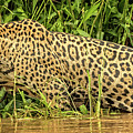 Jaguar Prowls The River's Edge by Steven Upton