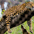 Jaguar Relaxation by Andrew Lelea