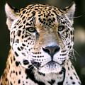 Jaguar by Scott Pellegrin