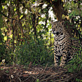 Jaguar Sitting In Trees In Dappled Sunlight by Ndp