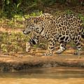 Jaguar Walking Beside River In Dappled Sunlight by Ndp