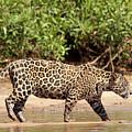 Jaguar Walking On A River Bank by Aivar Mikko
