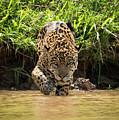 Jaguar Walking Through Muddy Shallows Towards Camera by Ndp