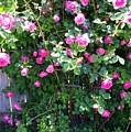 Jane's Rose Bush by Sharon Wilton
