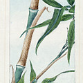 Japan: Bamboo, C1870s by Granger