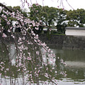 Japan Cherry Tree Blossom by Cream Cake