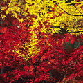 Japan Vibrant Leaves by Allan Seiden - Printscapes