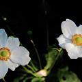 Japanese Anemone Flower by Allen Nice-Webb