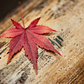 Japanese Autumn by U Schade