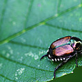 Japanese Beetle by Amber D Hathaway Photography