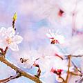 Japanese Cherry - Sakura In Bloom by Alexander Senin