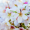 Japanese Cherry Tree Blossoms 2 by SR Green