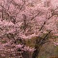 Japanese Cherry Tree by Karin Pinkham
