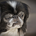 Japanese Chin Doggie Portrait by Jim Fitzpatrick