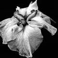 Japanese Iris In Black And White by Smilin Eyes  Treasures