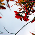 Japanese Maple 1589 by Carolyn Stagger Cokley