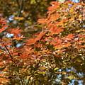 Japanese Maple Beauty by Maria Urso