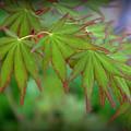 Japanese Maple Foliage by Nathan Abbott