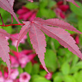 Japanese Maple by Ian  MacDonald