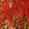 Japanese Maple In Afternoon by Anna Lisa Yoder