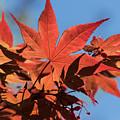 Japanese Maple In Sunlight by JG Thompson