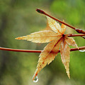 Japanese Maple In The Rain by Erin Donalson