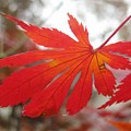 Japanese Maple Leaf 1 by Jeffrey Todd Moore
