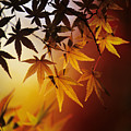 Japanese Maple Leaf by Allan Seiden - Printscapes