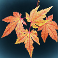 Japanese Maple Leaf Cluster by Frank Wilson
