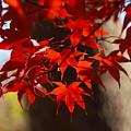 Japanese Maple Leaves by Carrie Goeringer