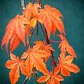 Japanese Maple Leaves by Frank Wilson