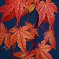 Japanese Maple Leaves In Autumn by Frank Wilson