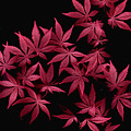 Japanese Maple Leaves by Wayne Potrafka