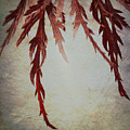 Japanese Maple by Lisa Knechtel