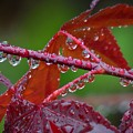 Japanese Maple On A Rainy Day by Matt Taylor