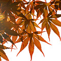 Japanese Maple by Panos Trivoulides